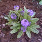 An early primula in the garden. It won't be long before the weeds are back!